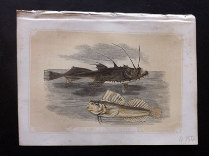 Bicknell 1851 Antique Print. Sea Devil & Leaping Blenny